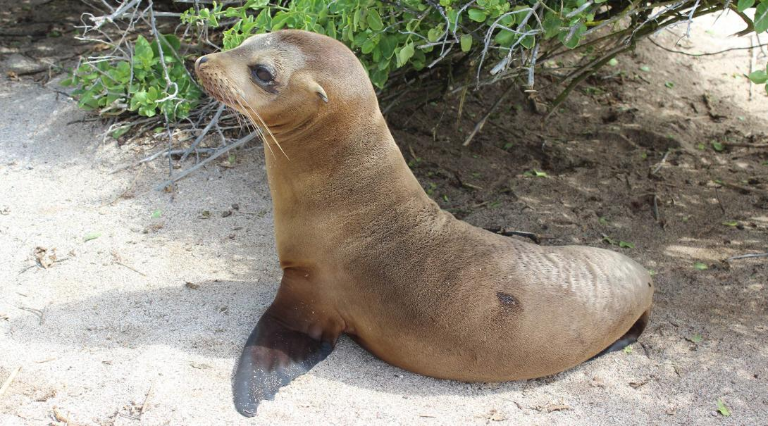 Sea lions found on the beach of the Galapagos Islands in Ecuador.